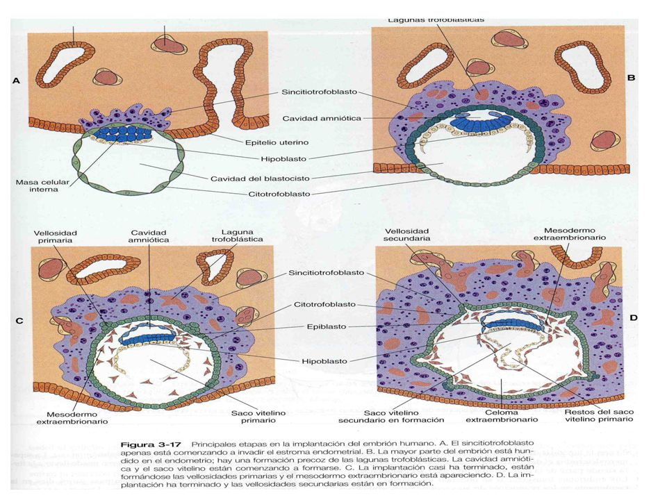 TERCERA SEMANA DE DESARROLLO Significa el comienzo de 6 semanas consecutivas de rápido desarrollo y diferenciación del embrión.