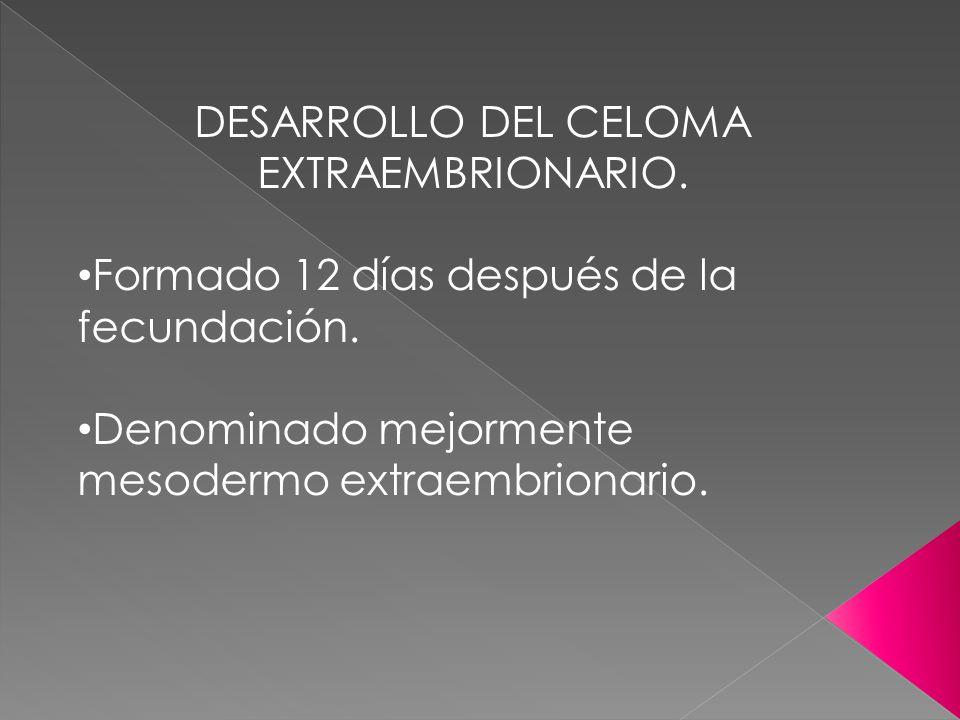 DESARROLLO DEL CELOMA EXTRAEMBRIONARIO. Formado 12 días después de la fecundación. Denominado mejormente mesodermo extraembrionario.