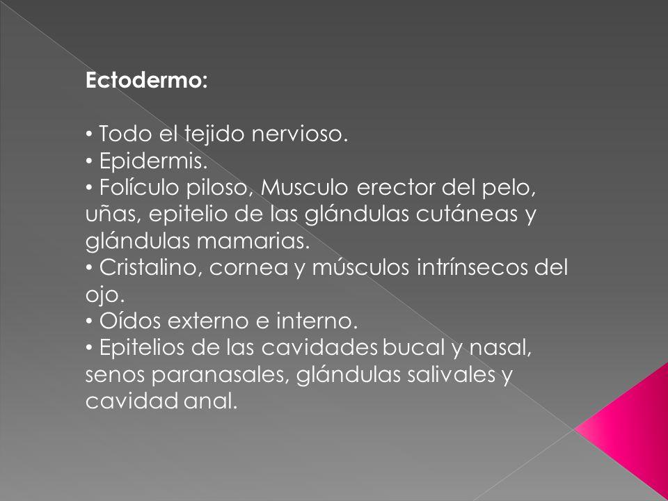 Ectodermo: Todo el tejido nervioso. Epidermis. Folículo piloso, Musculo erector del pelo, uñas, epitelio de las glándulas cutáneas y glándulas mamaria
