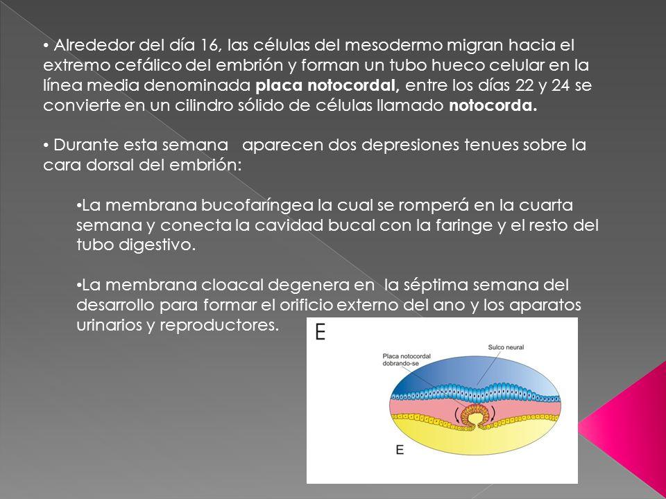 Alrededor del día 16, las células del mesodermo migran hacia el extremo cefálico del embrión y forman un tubo hueco celular en la línea media denomina