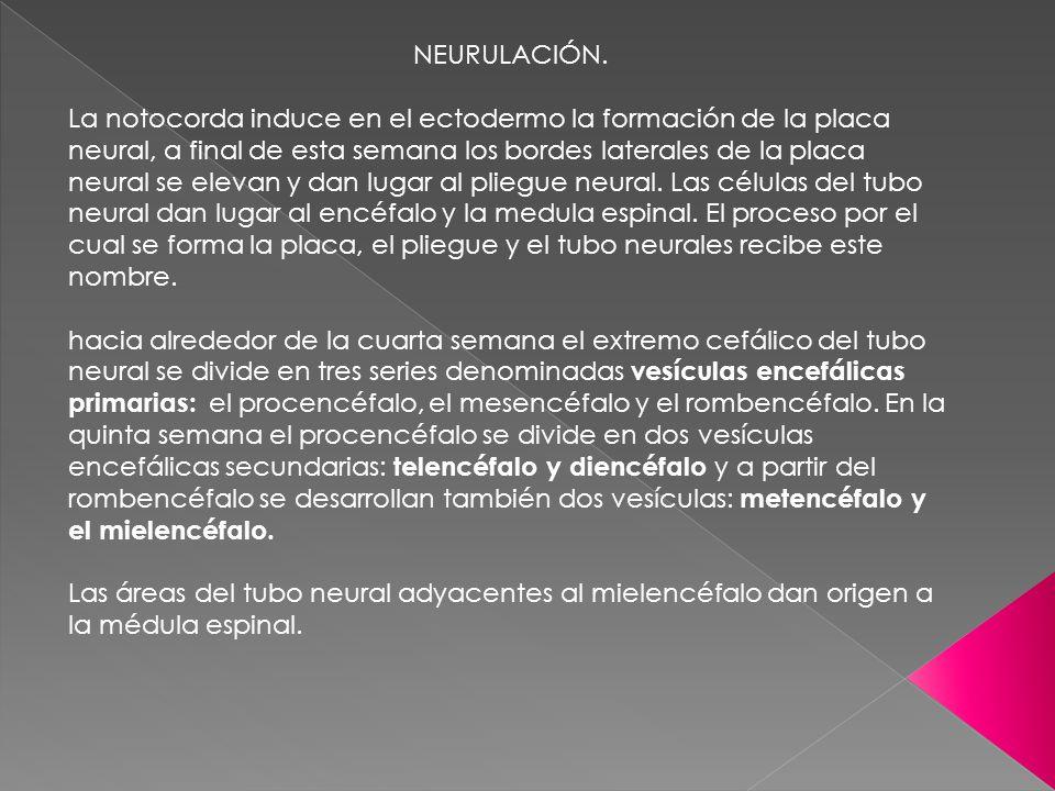 NEURULACIÓN. La notocorda induce en el ectodermo la formación de la placa neural, a final de esta semana los bordes laterales de la placa neural se el