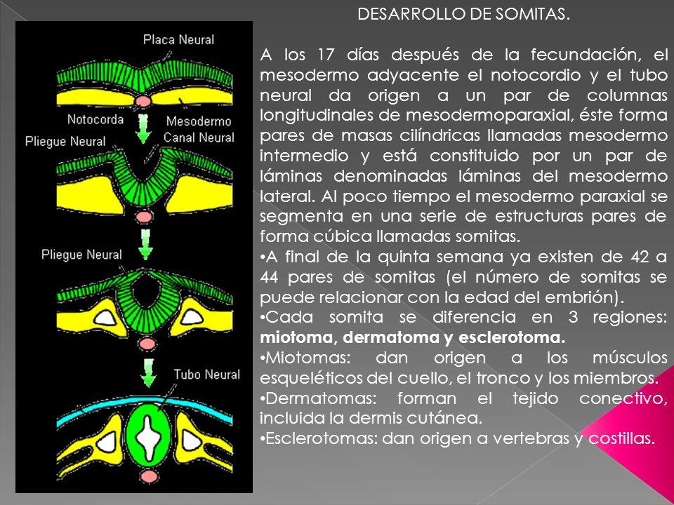 DESARROLLO DE SOMITAS. A los 17 días después de la fecundación, el mesodermo adyacente el notocordio y el tubo neural da origen a un par de columnas l