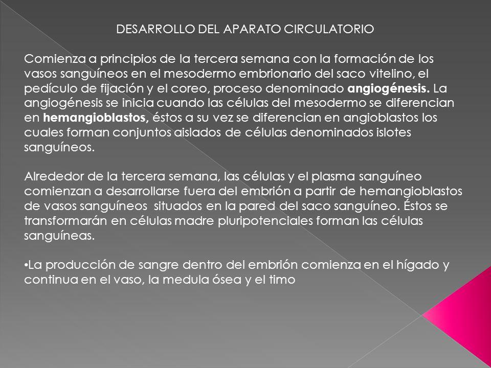 DESARROLLO DEL APARATO CIRCULATORIO Comienza a principios de la tercera semana con la formación de los vasos sanguíneos en el mesodermo embrionario de