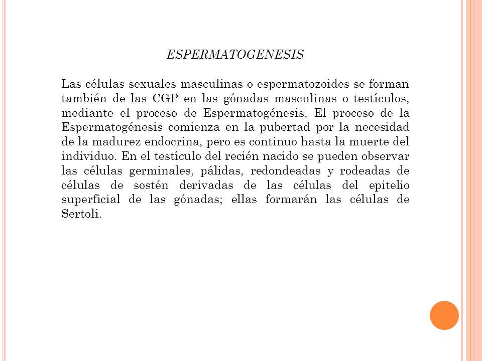 ESPERMATOGENESIS Las células sexuales masculinas o espermatozoides se forman también de las CGP en las gónadas masculinas o testículos, mediante el proceso de Espermatogénesis.
