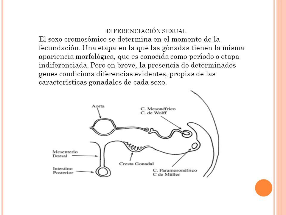 DIFERENCIACIÓN SEXUAL El sexo cromosómico se determina en el momento de la fecundación.