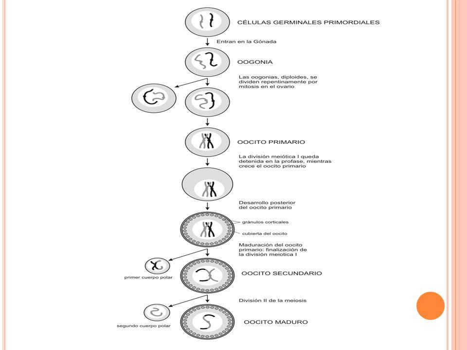 Regulación de la ovogénesis : Para la migración de las células germinativas primordiales (CGP), precursoras de las células sexuales; es muy importante la fibronectina.