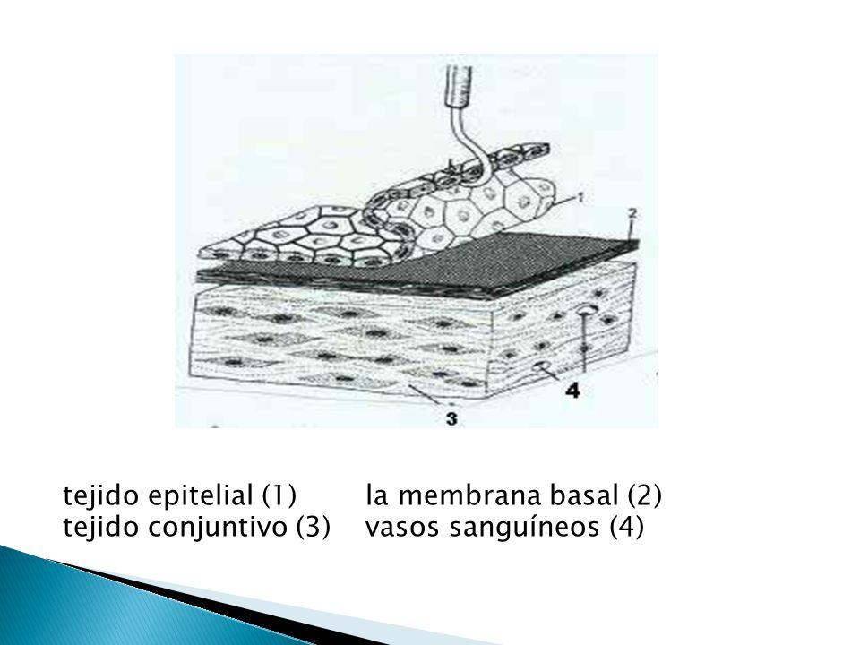 tejido epitelial (1) la membrana basal (2) tejido conjuntivo (3) vasos sanguíneos (4)