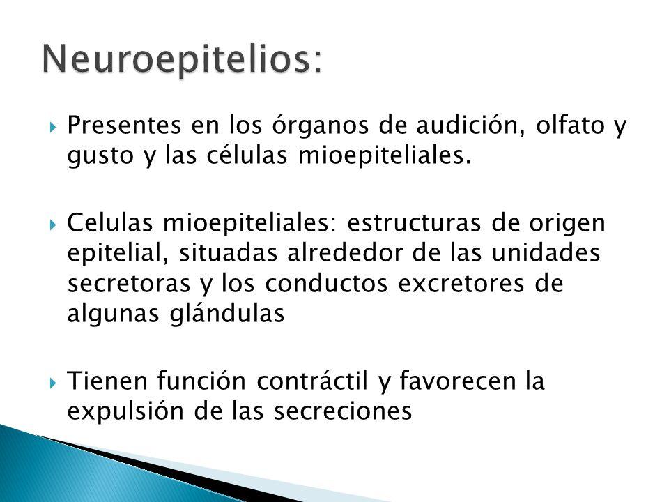 Presentes en los órganos de audición, olfato y gusto y las células mioepiteliales. Celulas mioepiteliales: estructuras de origen epitelial, situadas a