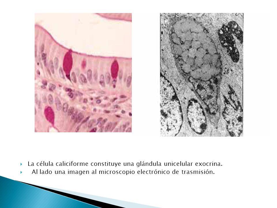 La célula caliciforme constituye una glándula unicelular exocrina. Al lado una imagen al microscopio electrónico de trasmisión.