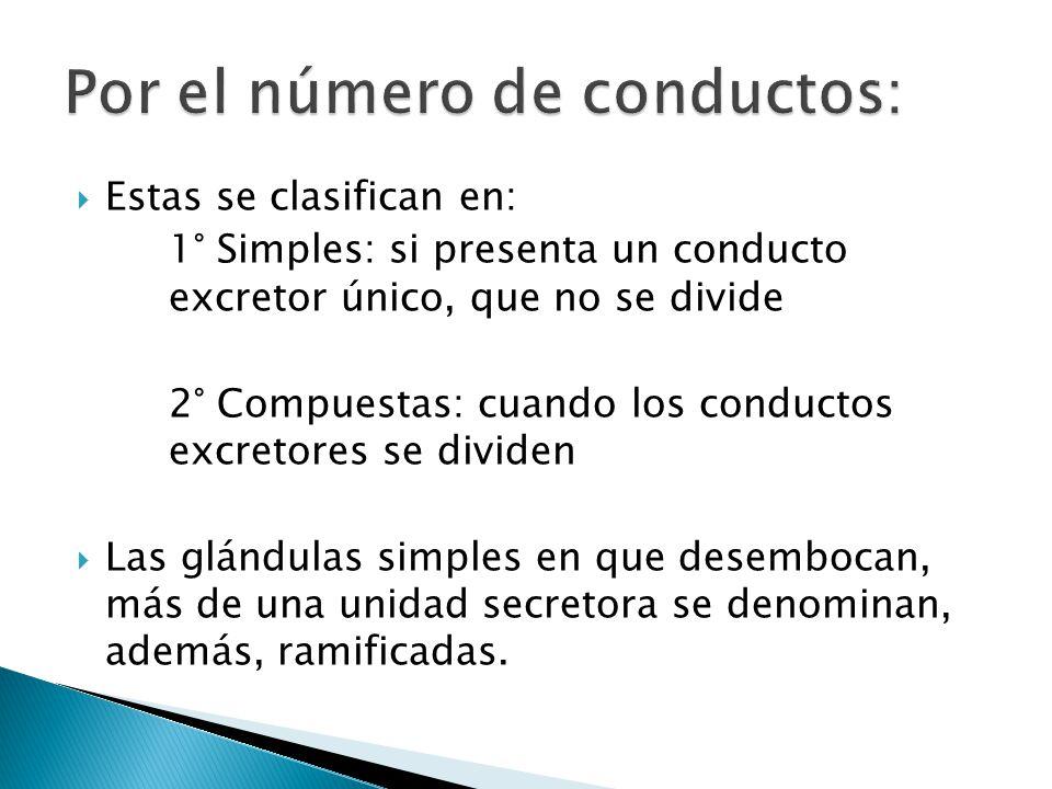 Estas se clasifican en: 1° Simples: si presenta un conducto excretor único, que no se divide 2° Compuestas: cuando los conductos excretores se dividen