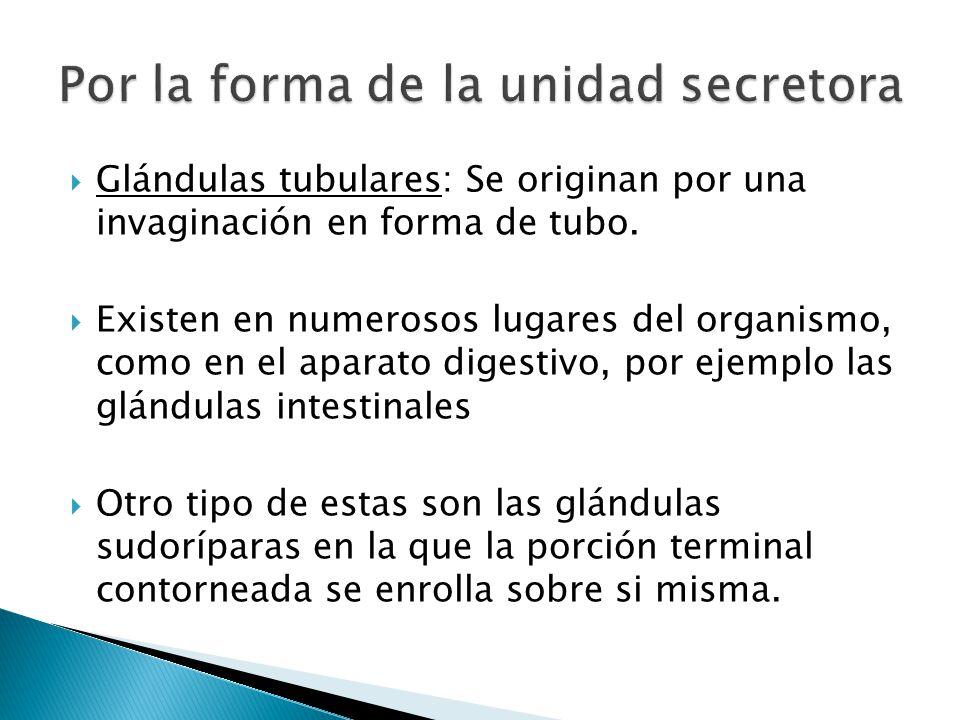 Glándulas tubulares: Se originan por una invaginación en forma de tubo. Existen en numerosos lugares del organismo, como en el aparato digestivo, por
