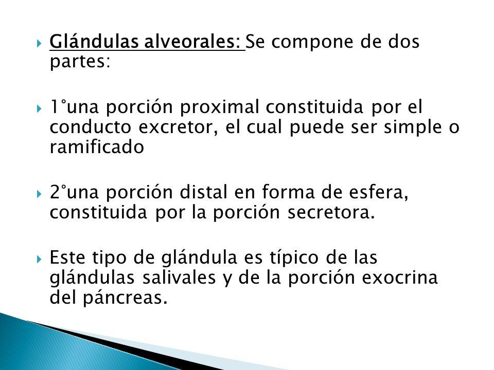Glándulas alveorales: Se compone de dos partes: 1°una porción proximal constituida por el conducto excretor, el cual puede ser simple o ramificado 2°u