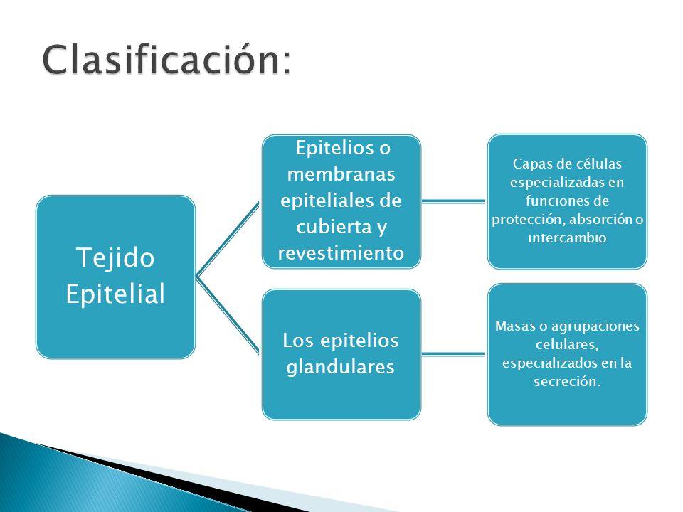 Tejido Epitelial Epitelios o membranas epiteliales de cubierta y revestimiento Capas de células especializadas en funciones de protección, absorción o