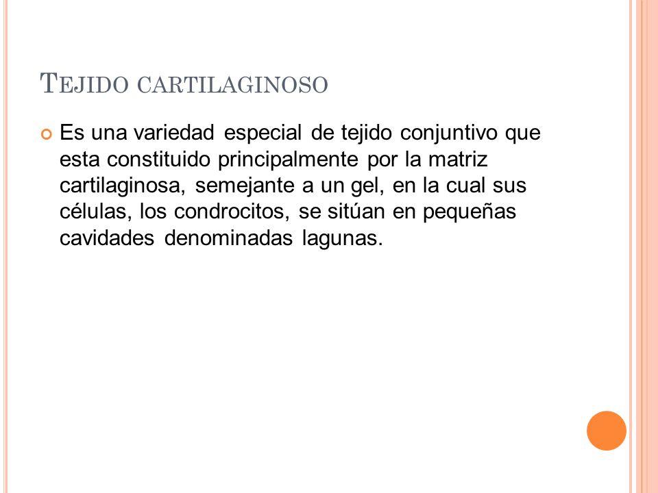 T EJIDO CARTILAGINOSO Es una variedad especial de tejido conjuntivo que esta constituido principalmente por la matriz cartilaginosa, semejante a un ge