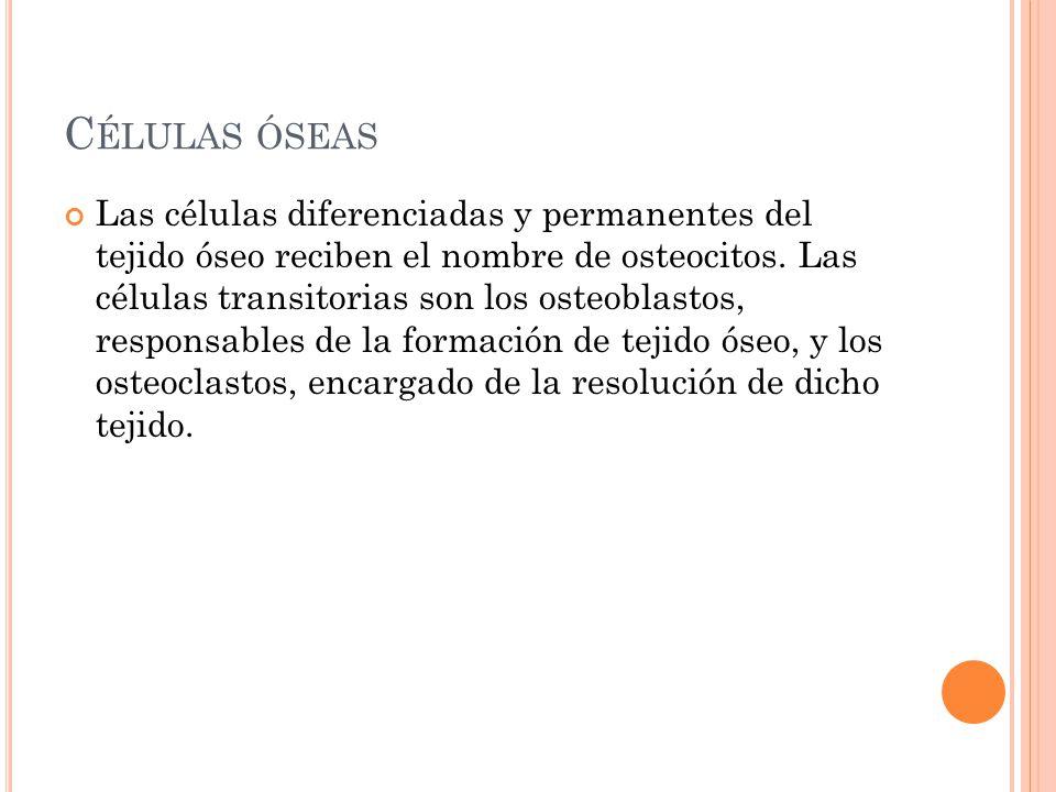 C ÉLULAS ÓSEAS Las células diferenciadas y permanentes del tejido óseo reciben el nombre de osteocitos. Las células transitorias son los osteoblastos,