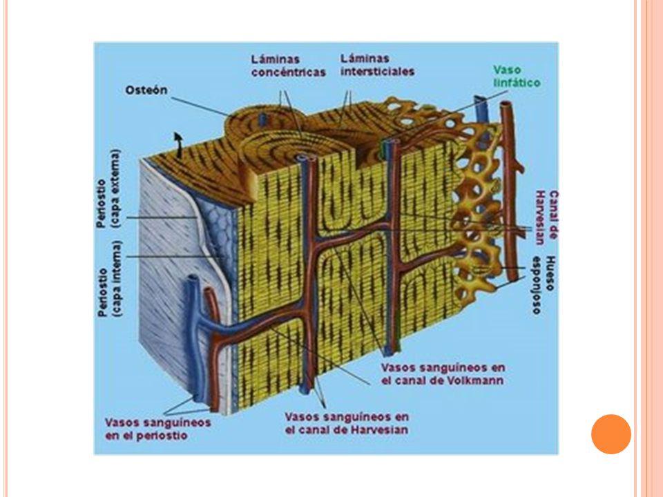 C ARTÍLAGO FIBROSO Contiene numerosos haces paralelos de fibras colágenas y escasa cantidad de matriz hialina, lo que lo distingue de los dos tipos de cartílago.