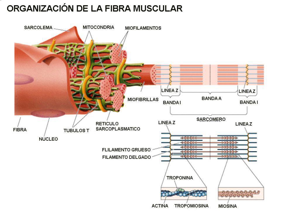 G ENERALIDADES : Las fibras musculares como los músculos enteros están rodeados por capas de tejido conectivo Las aponeurosis o fascias son láminas o bandas anchas de tejido conectivo fibroso que se encuentran debajo de la piel y que envuelven los músculos y otros órganos los vasos sanguíneos y los nervios penetran en los músculos Al estudiar los músculos individualmente es de gran ayuda seguir un orden lógico, para facilitar la comprensión de los aspectos más importantes de estos órganos