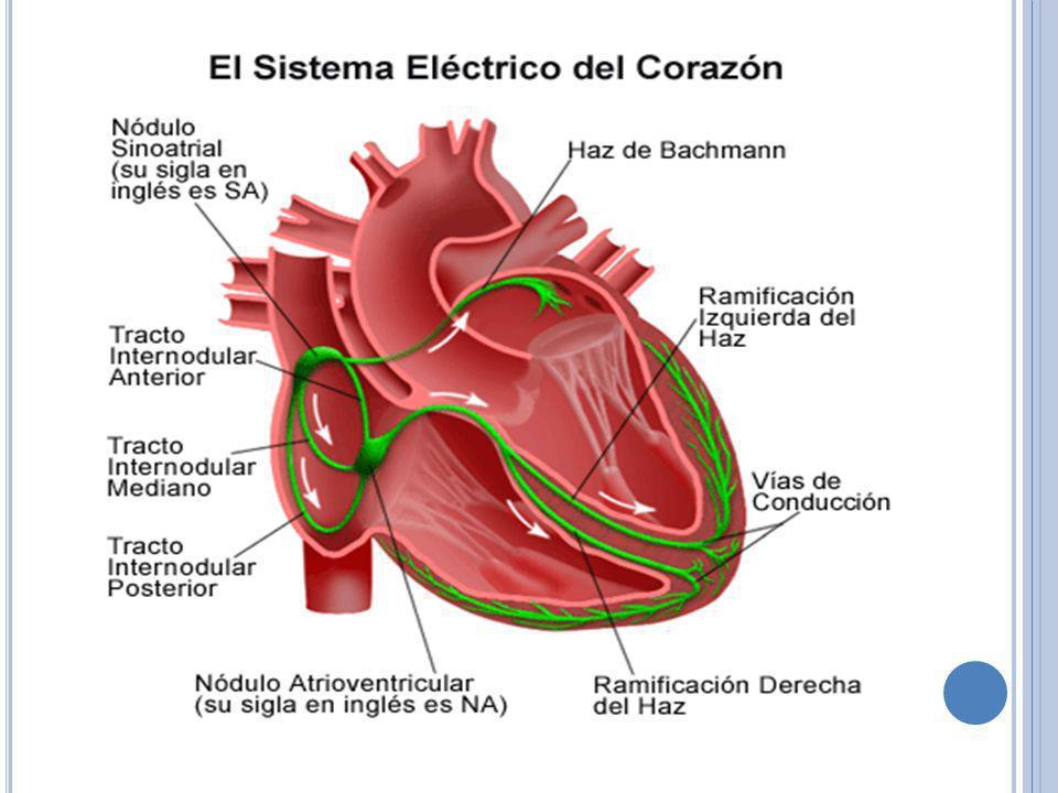 El músculo cardiaco se deriva de las células mesodérmicas que emigran y envuelven al corazón en desarrollo mientras todavía tiene la forma de los tubos cardiacos primitivos.