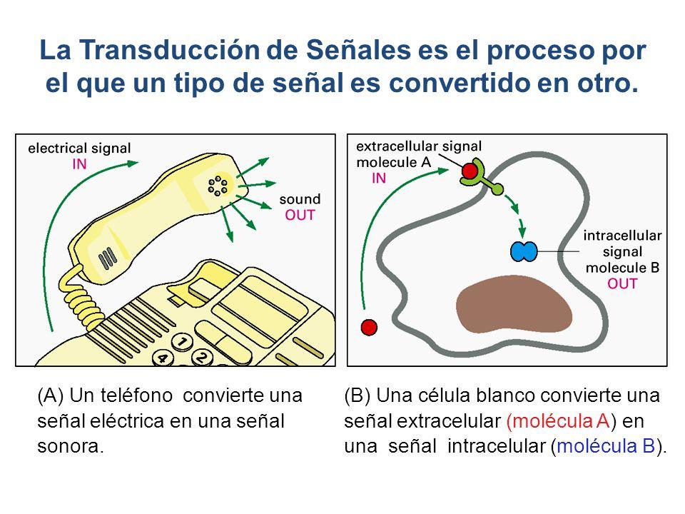 (B) Una célula blanco convierte una señal extracelular (molécula A) en una señal intracelular (molécula B). La Transducción de Señales es el proceso p