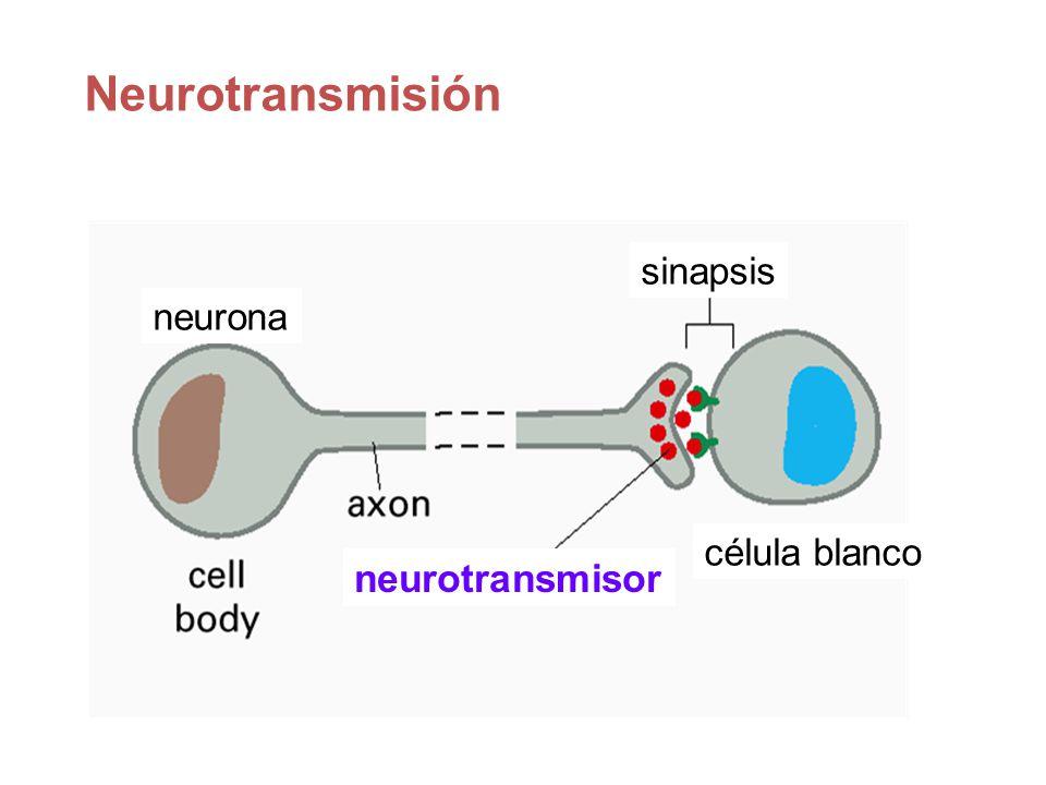 Neurotransmisión neurona sinapsis célula blanco neurotransmisor