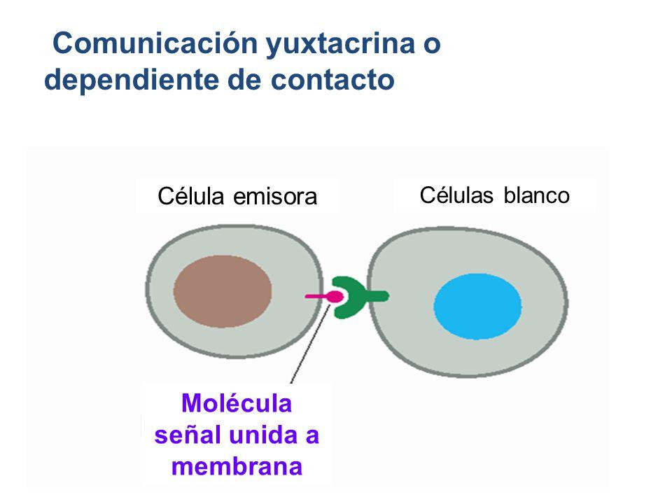 Comunicación yuxtacrina o dependiente de contacto Célula emisora Células blanco Molécula señal unida a membrana