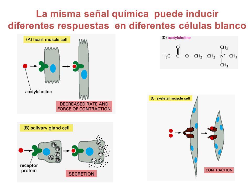 La misma señal química puede inducir diferentes respuestas en diferentes células blanco