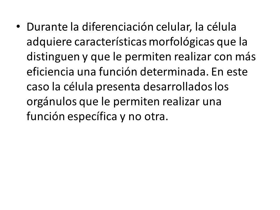 Durante la diferenciación celular, la célula adquiere características morfológicas que la distinguen y que le permiten realizar con más eficiencia una