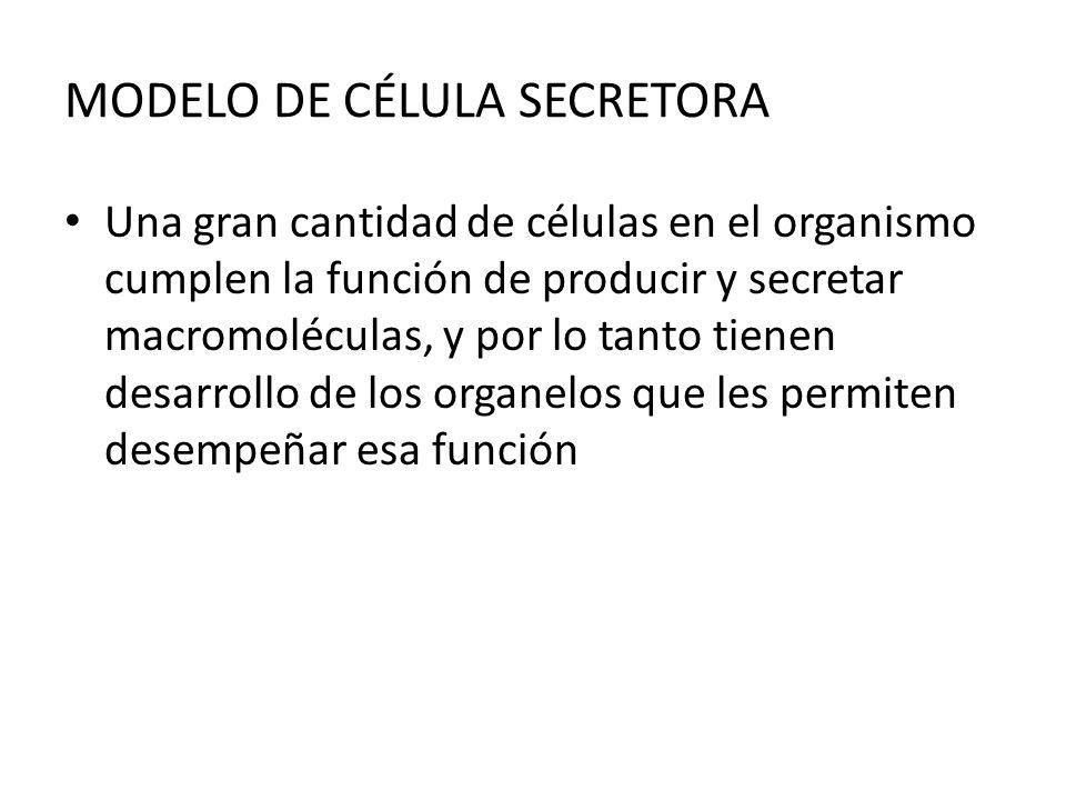MODELO DE CÉLULA SECRETORA Una gran cantidad de células en el organismo cumplen la función de producir y secretar macromoléculas, y por lo tanto tiene