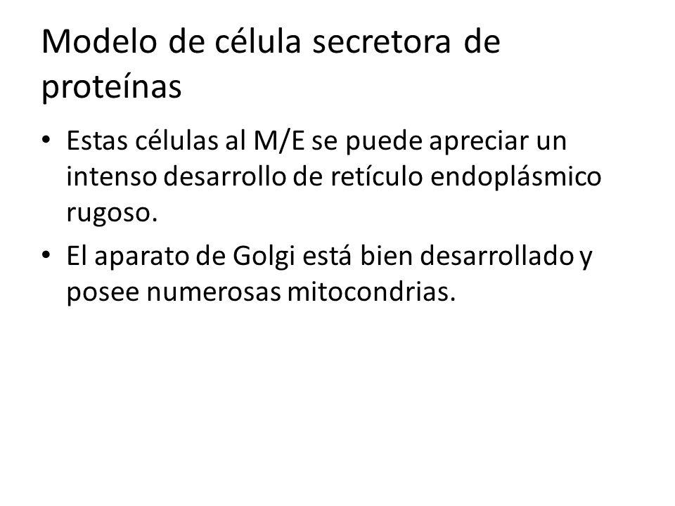Modelo de célula secretora de proteínas Estas células al M/E se puede apreciar un intenso desarrollo de retículo endoplásmico rugoso. El aparato de Go