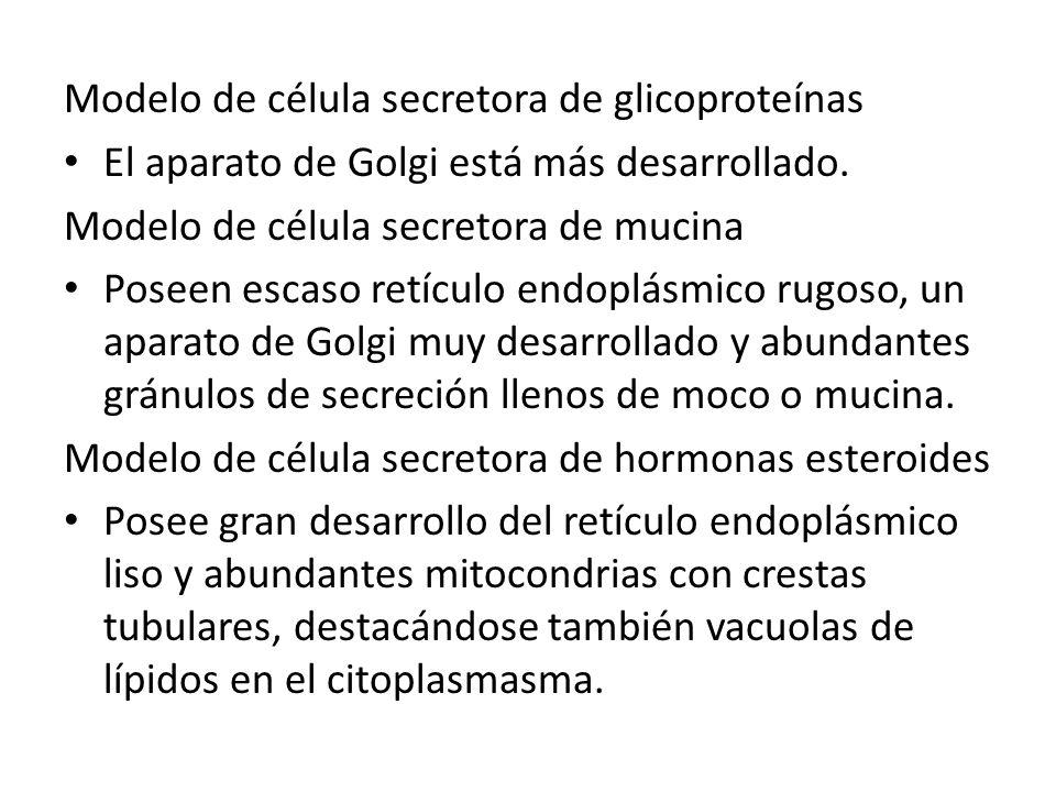 Modelo de célula secretora de glicoproteínas El aparato de Golgi está más desarrollado. Modelo de célula secretora de mucina Poseen escaso retículo en