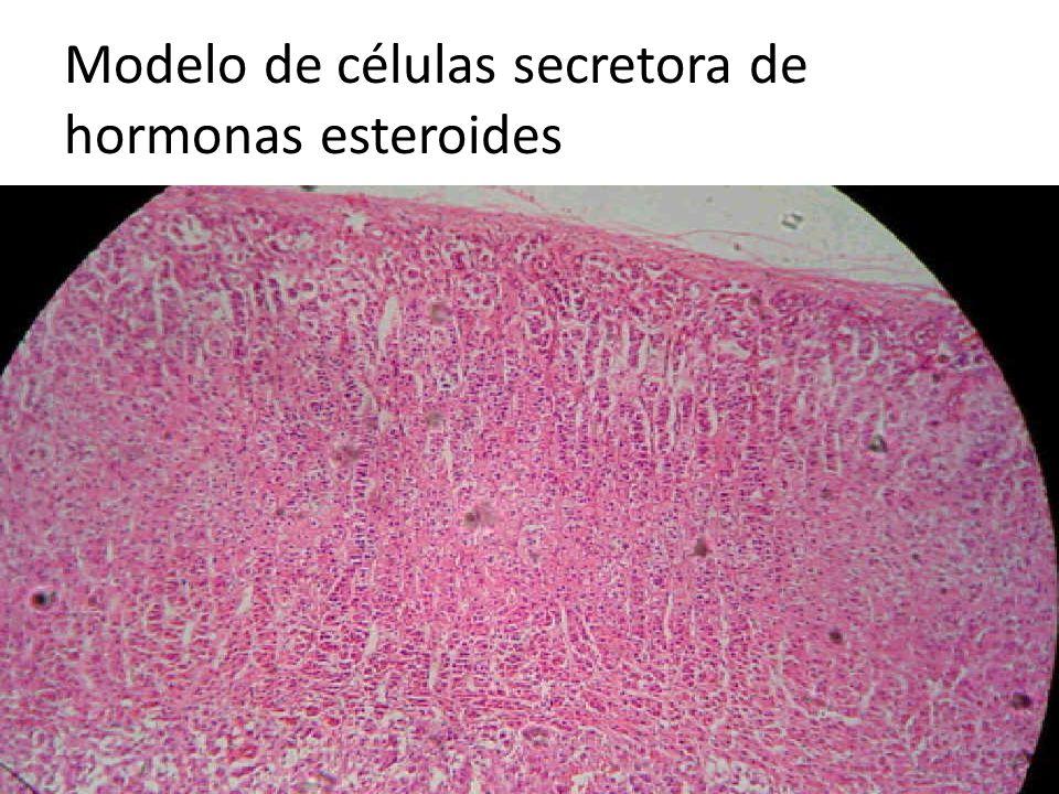 Modelo de células secretora de hormonas esteroides
