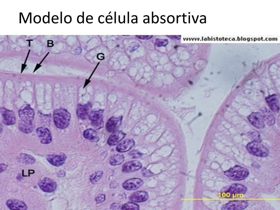 Modelo de célula absortiva