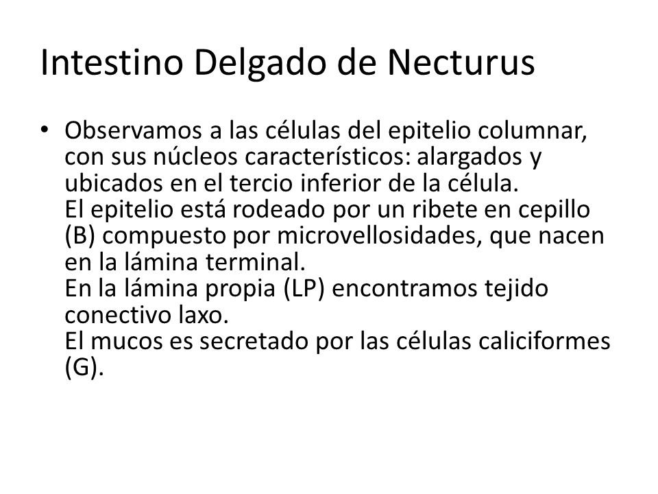 Intestino Delgado de Necturus Observamos a las células del epitelio columnar, con sus núcleos característicos: alargados y ubicados en el tercio infer