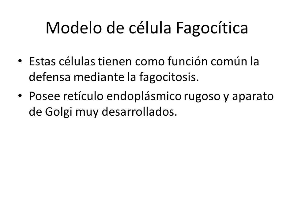 Modelo de célula Fagocítica Estas células tienen como función común la defensa mediante la fagocitosis. Posee retículo endoplásmico rugoso y aparato d