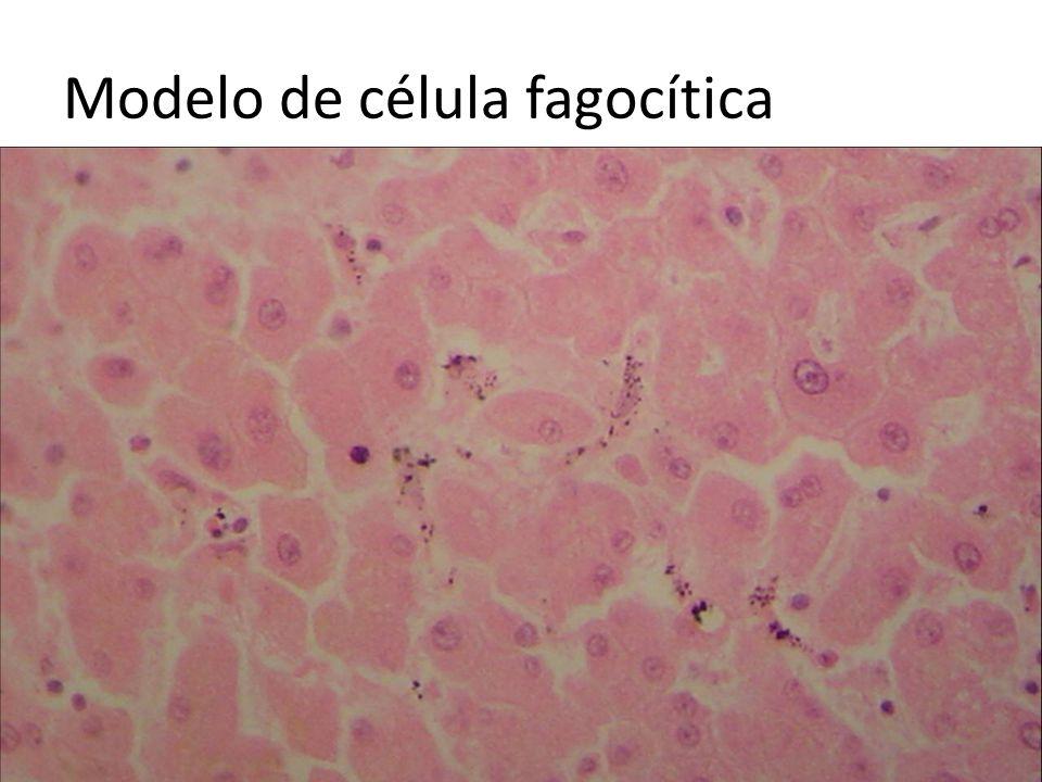 Modelo de célula fagocítica