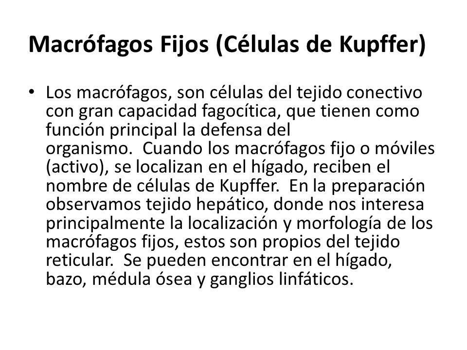 Macrófagos Fijos (Células de Kupffer) Los macrófagos, son células del tejido conectivo con gran capacidad fagocítica, que tienen como función principa
