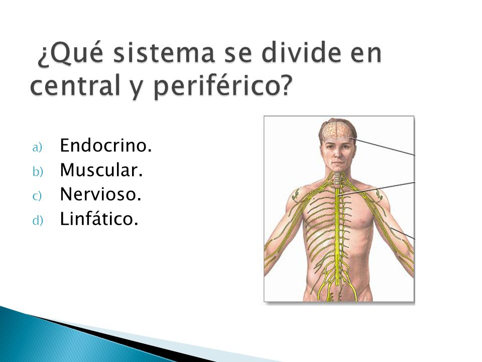 a) Endocrino. b) Muscular. c) Nervioso. d) Linfático.