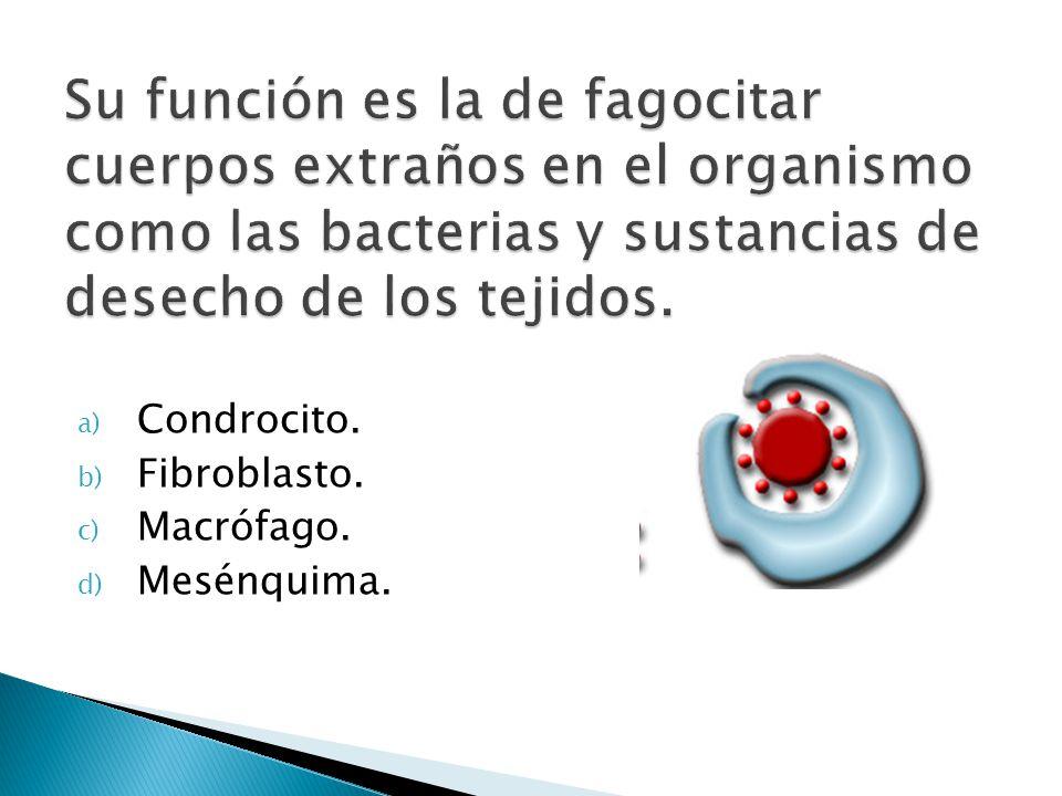 a) Condrocito. b) Fibroblasto. c) Macrófago. d) Mesénquima.