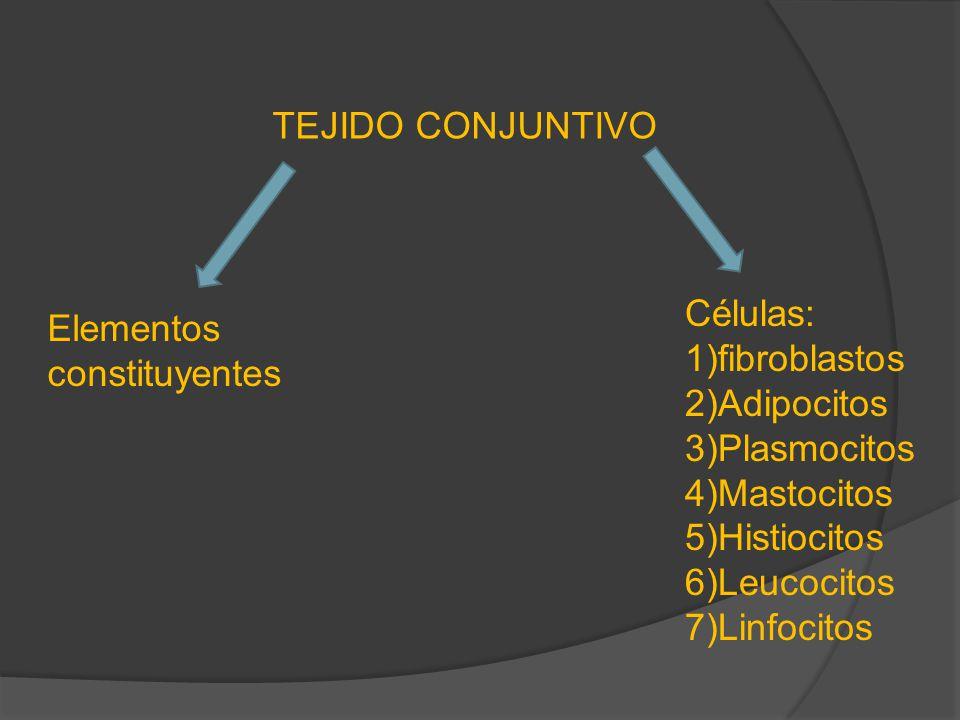 Variedades de tejido conjuntivo LaxoDenso *Mesénquima *T.