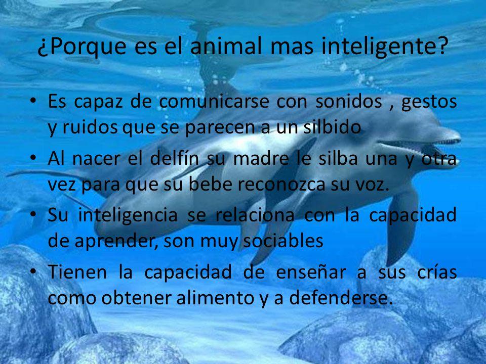 ¿Porque es el animal mas inteligente? Es capaz de comunicarse con sonidos, gestos y ruidos que se parecen a un silbido Al nacer el delfín su madre le