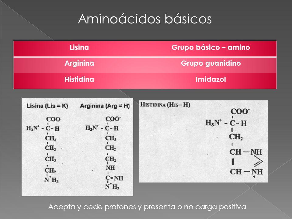 Aminoácidos básicos Acepta y cede protones y presenta o no carga positiva