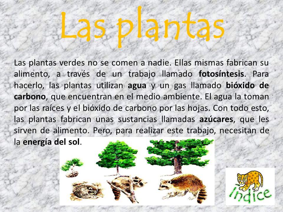 Las plantas verdes no se comen a nadie. Ellas mismas fabrican su alimento, a través de un trabajo llamado fotosíntesis. Para hacerlo, las plantas util