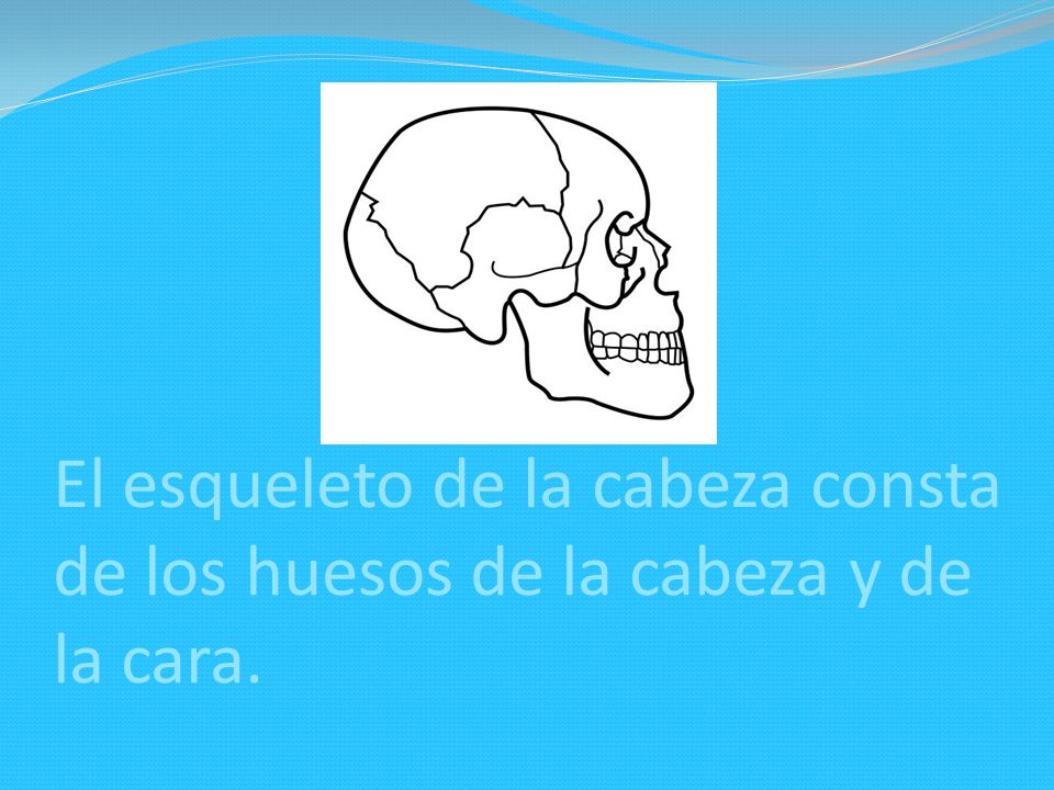 El esqueleto de la cabeza consta de los huesos de la cabeza y de la cara.