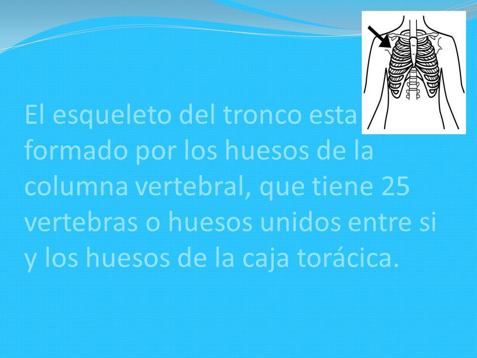 El esqueleto del tronco esta formado por los huesos de la columna vertebral, que tiene 25 vertebras o huesos unidos entre si y los huesos de la caja t