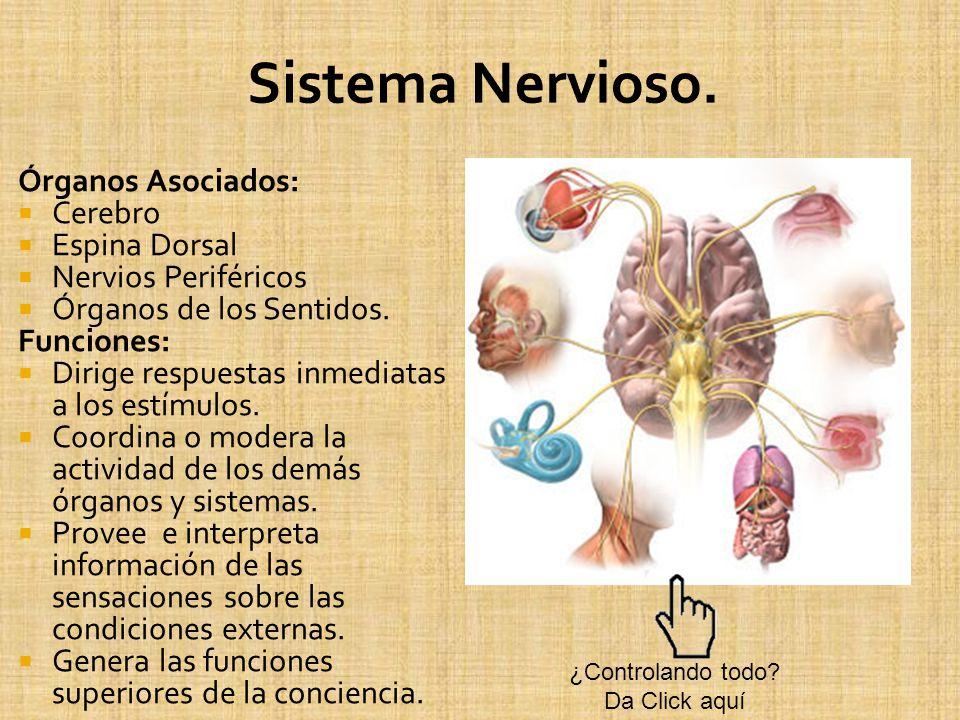 Órganos Asociados: Cerebro Espina Dorsal Nervios Periféricos Órganos de los Sentidos. Funciones: Dirige respuestas inmediatas a los estímulos. Coordin