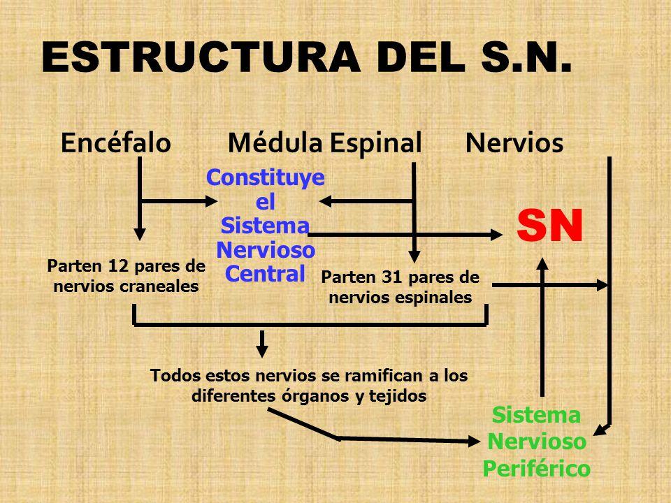 Encéfalo Médula Espinal Nervios Constituye el Sistema Nervioso Central Parten 12 pares de nervios craneales Parten 31 pares de nervios espinales Todos