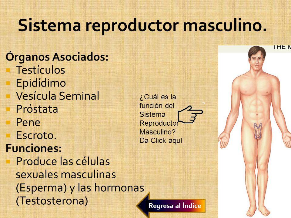 Órganos Asociados: Testículos Epidídimo Vesícula Seminal Próstata Pene Escroto. Funciones: Produce las células sexuales masculinas (Esperma) y las hor