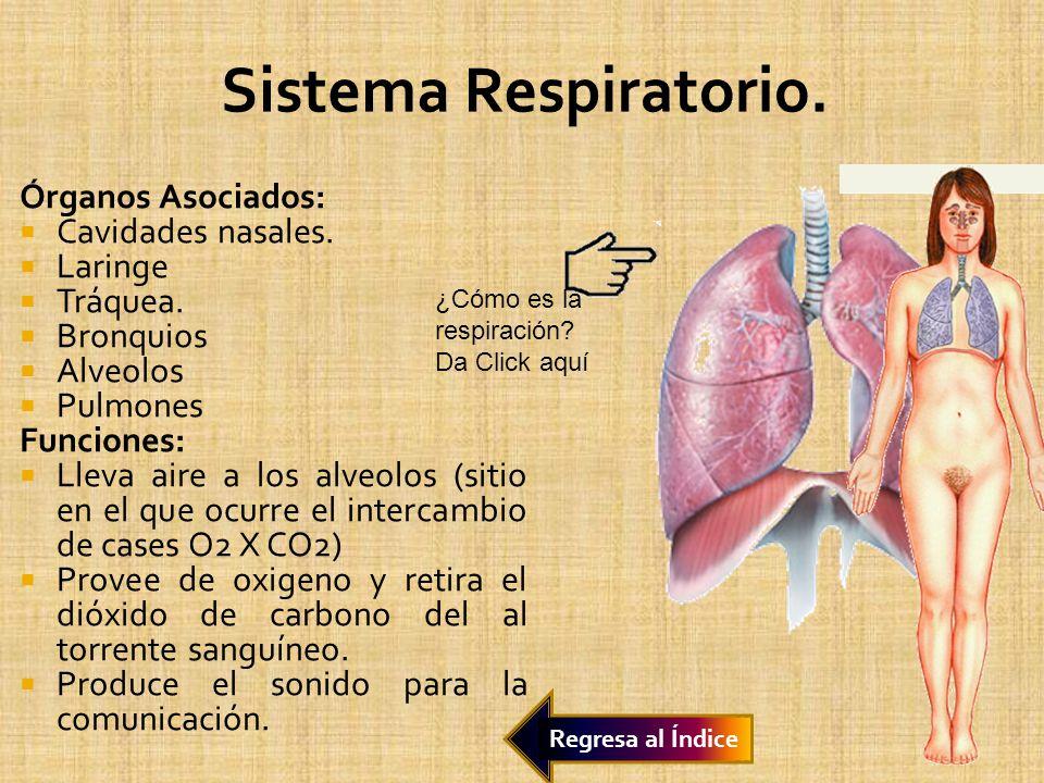 Órganos Asociados: Cavidades nasales. Laringe Tráquea. Bronquios Alveolos Pulmones Funciones: Lleva aire a los alveolos (sitio en el que ocurre el int