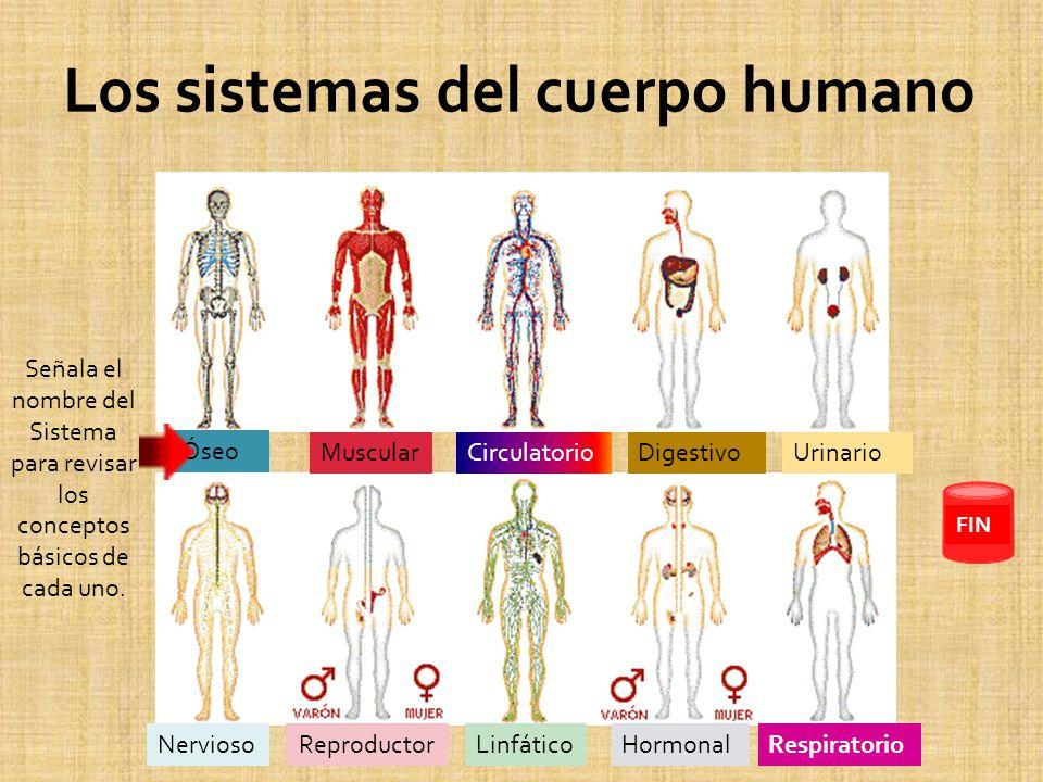 Órganos Asociados: Huesos ( 208 aprox.) Cartílagos Ligamentos Funciones: Dar protección a los órganos vitales Servir de soporte y punto de apoyo al sistema muscular.