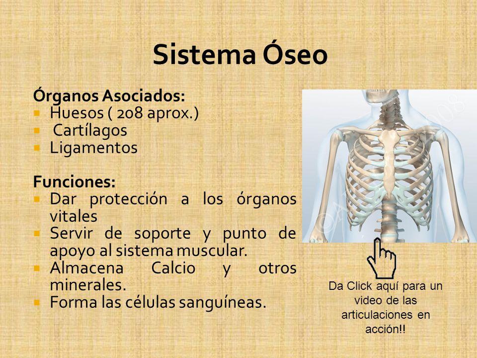 Órganos Asociados: Huesos ( 208 aprox.) Cartílagos Ligamentos Funciones: Dar protección a los órganos vitales Servir de soporte y punto de apoyo al si